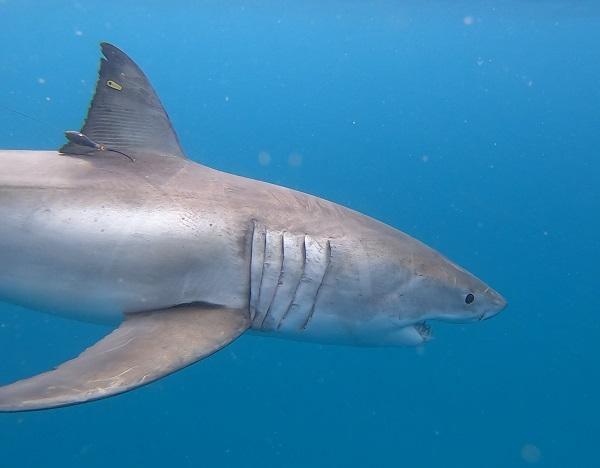 Targeted tagging of white sharks takes WA total to 115