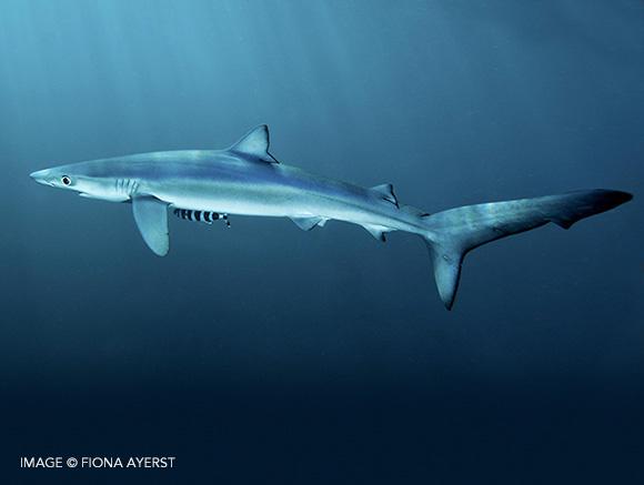 Sharksmart - Species