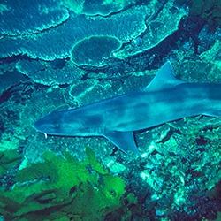 Whiskery Shark
